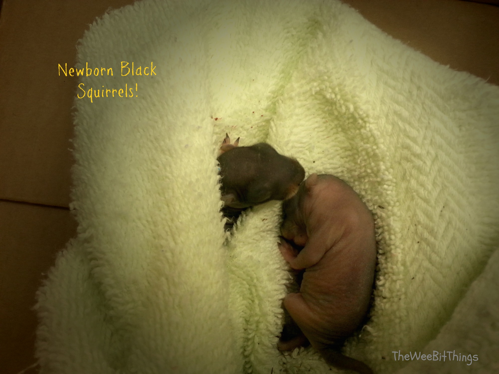 img of newborn black squirrels