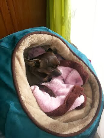 Chihuahua in Halo bed