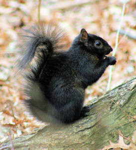 img of a very black squirrel