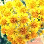 Bundle of Yellow Daisies Image