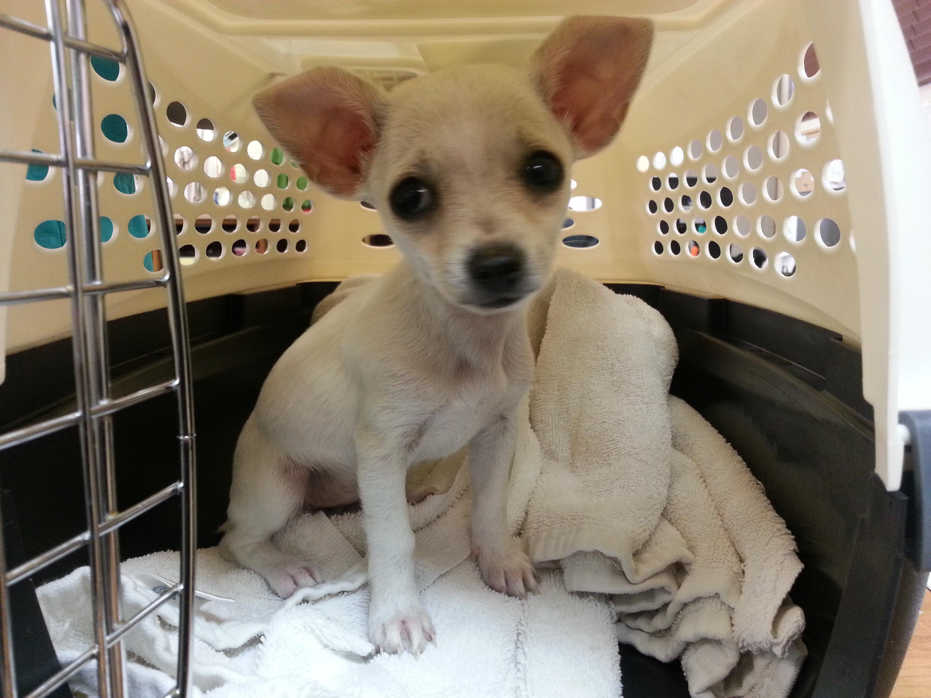 White Chihuahua Puppy 2 months