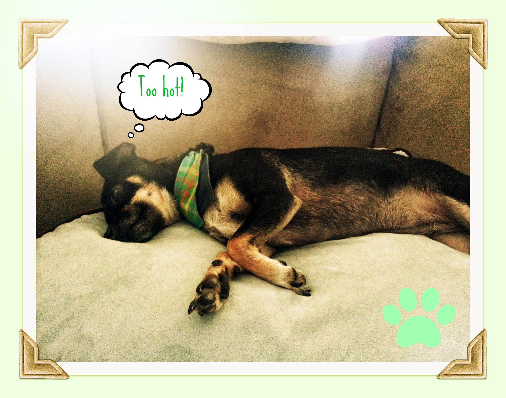 Rat Terrier Chihuahua Mix Sprawled on Couch